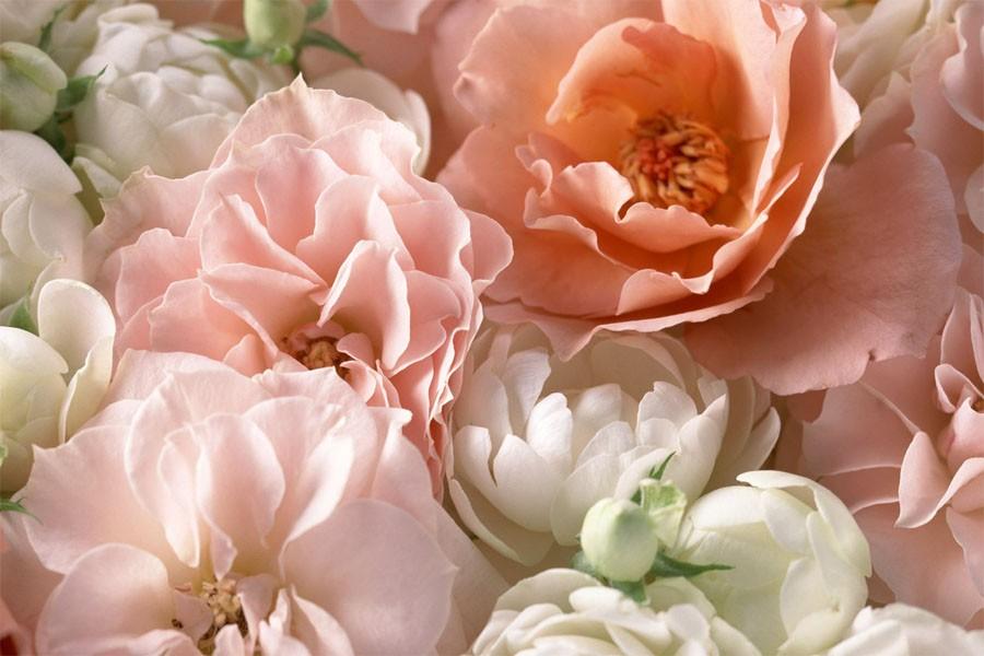 roza-mnogo